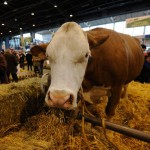 Neobična nesreća u Engleskoj – krava mu pala na automobil