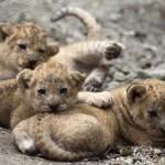 Medeni lavići uživaju u igri