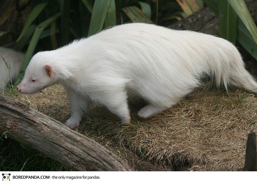 albino-animals-16