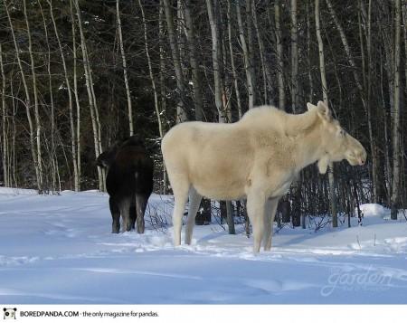 albino-animals-17-450x357