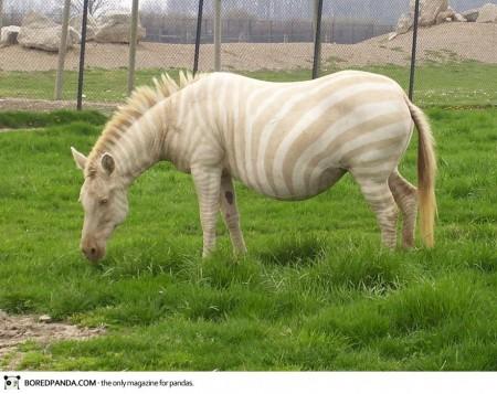 albino-animals-20-450x357