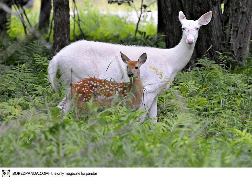 albino-animals-4