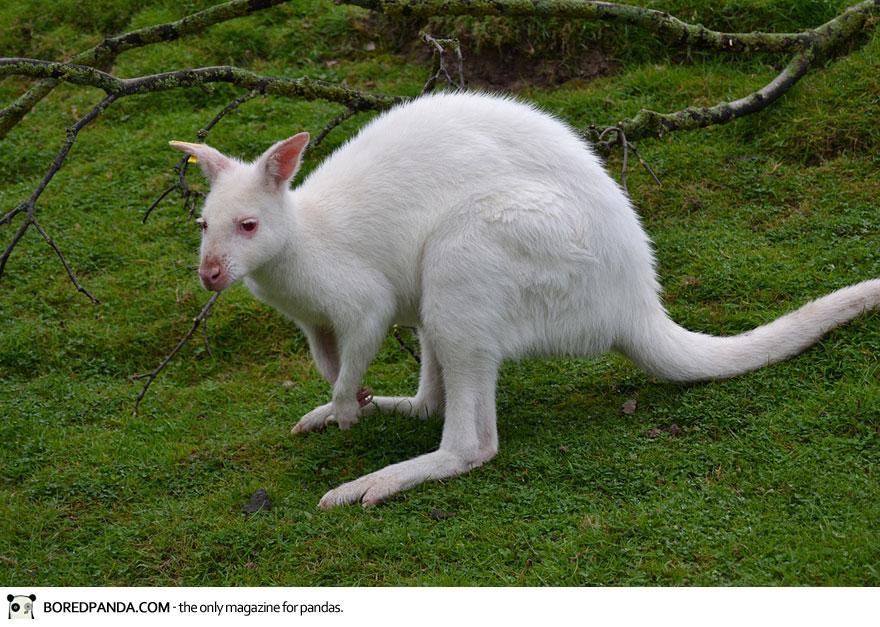 albino-animals-6