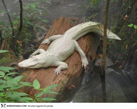 albino-animals-8-450x357