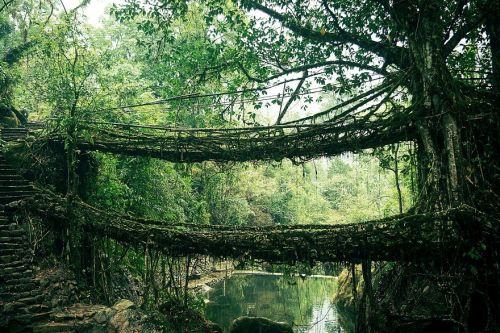 mostovi od korenja drveca indija Mostovi kao iz bajke