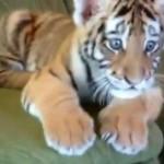Sweet: Neobično prijateljstvo tigrića i psića