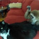 Da li bi se tvoj ljubimac slagao sa majmunčićem?!